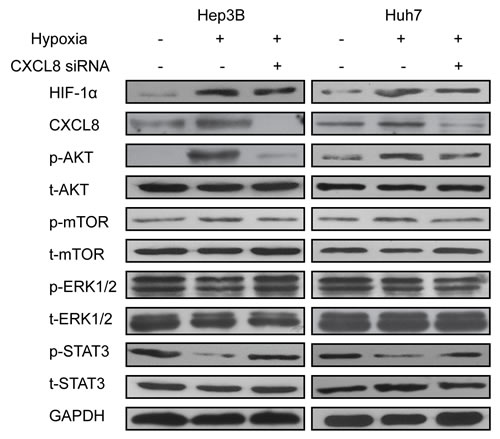 AKT/mTOR/STAT3 signaling pathway was implicated in HIF-1α and CXCL8 synergistic effect.