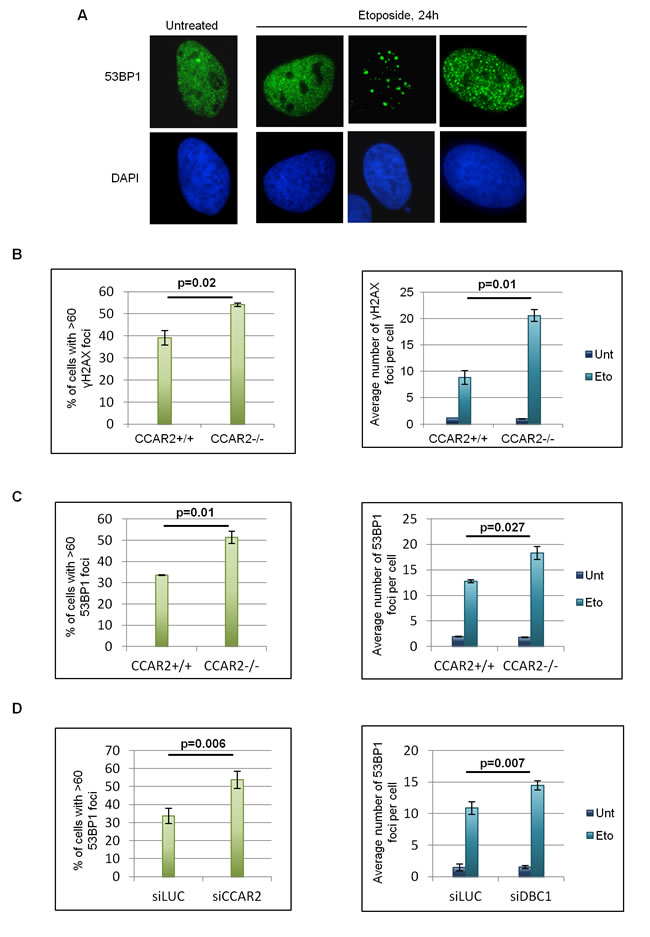 Cells negative for CCAR2 have defective DNA repair.