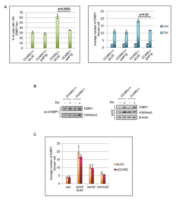 CCAR2 is involved in heterochromatic DNA repair.