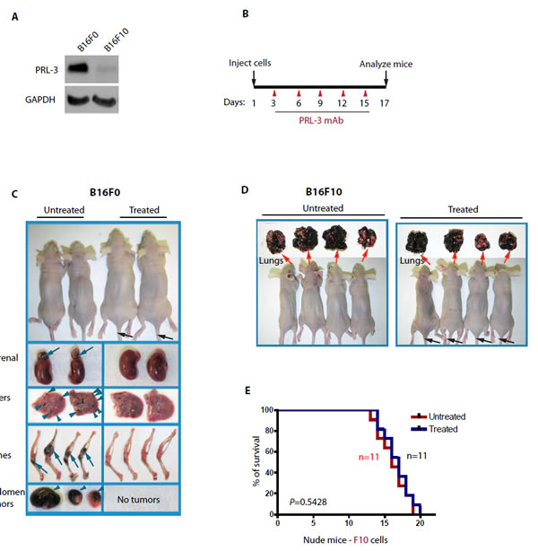 Figure 2. PRL-3 chimeric antibody effectively inhibits the formation of metastatic tumors formed by B16F0 cells that express endogenous PRL-3. A.