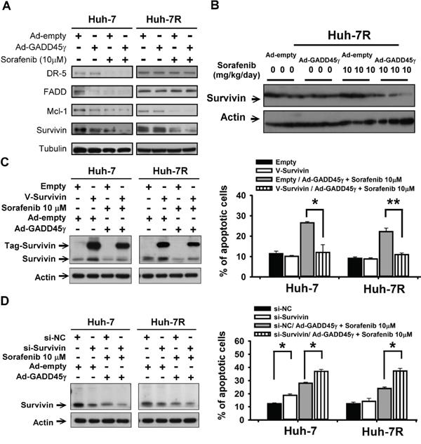 Survivin is a crucial downstream mediator of GADD45γ induction to reverse sorafenib resistance.