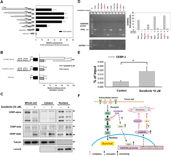 C/EBP as a potential regulator of GADD45γ induction by sorafenib.