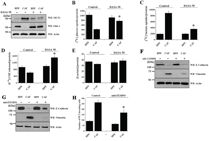 PKM2 reactivation induced by DASA-58 restores glucose respiration, impairing CAFs driven lactate consumption.