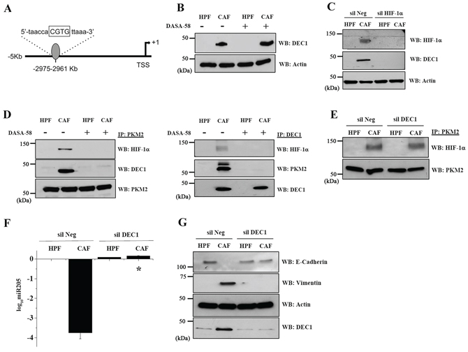 DEC1 is recruited by the PKM2/HIF-1α complex upon CAFs exposure, granting for miR205 transcriptional repression and EMT execution.