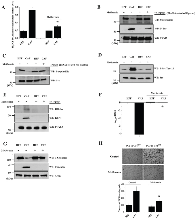 Metformin impairs PKM2 nuclear function and abrogates CAFs driven EMT in PC3 cells.