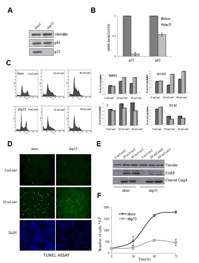 Effect of functional inactivation of mutp53 in HaCaT cells.