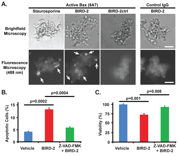 Bax activation by BIRD-2 and protection from BIRD-2-induced cell death by caspase inhibition.