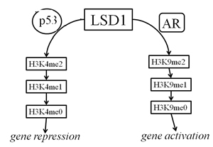 Schematic depicting model for LSD1 regulation by p53 and AR.