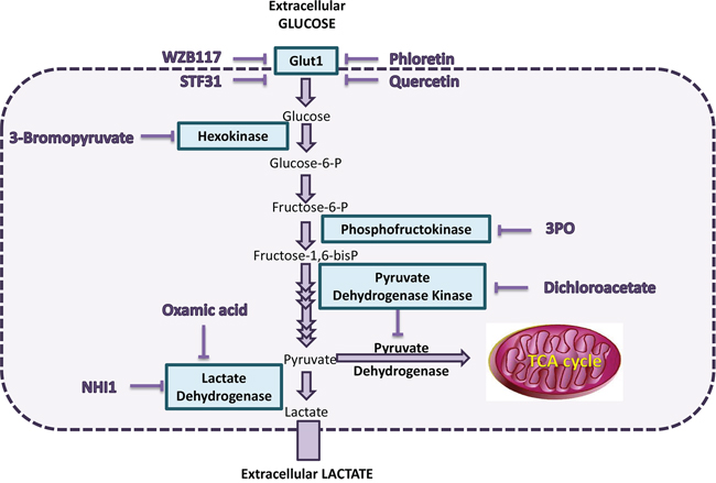 Scheme of selected components of the glycolysis pathway and the inhibitors studied.