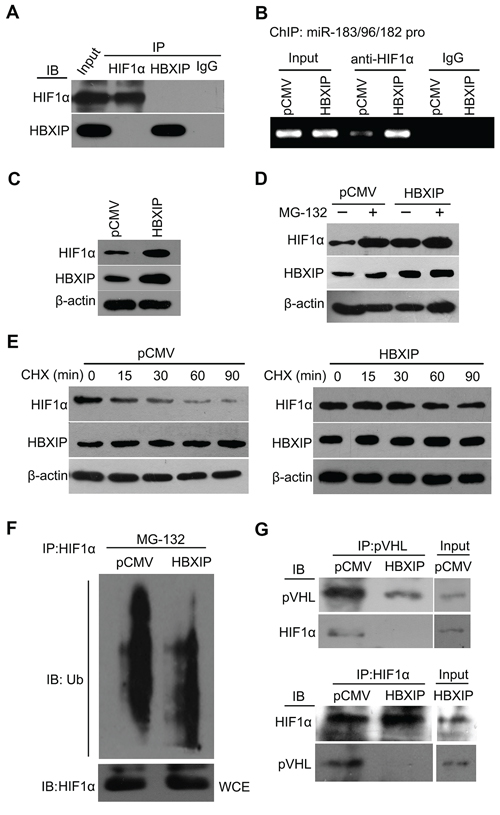 HBXIP increases the protein level of HIF1α through blocking the degradation of HIF1α to activate miR-183/96/182.