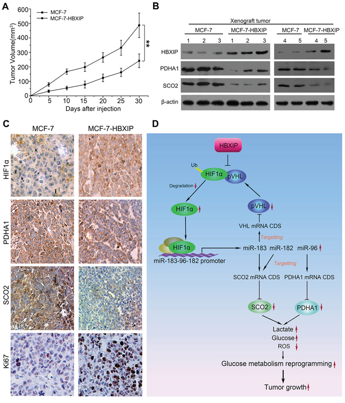 HBXIP enhances the growth of breast cancer cells through miR-183/96/182 targeting SCO2 and PDHA1 in vivo.