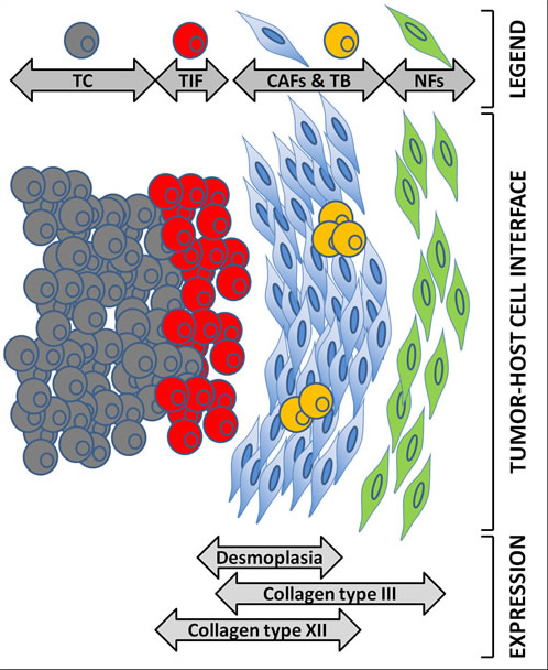 Proposed model for the expression of collagen types III and XII at the CRC desmoplastic tumor microenvironment.
