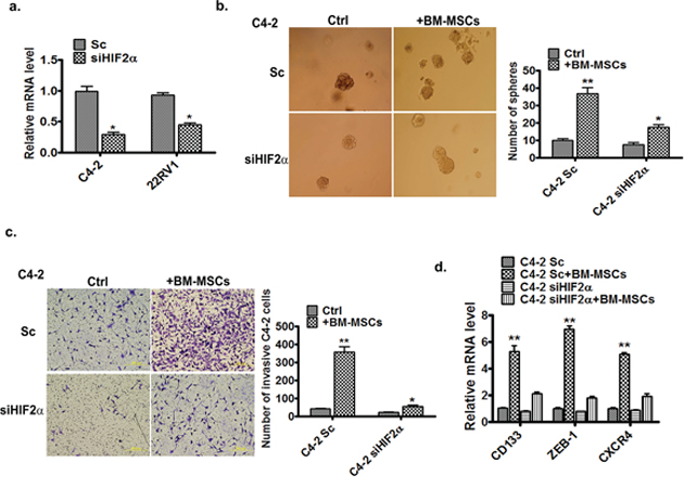 HIF2α is essential for BM-MSCs increase of PCa invasion and stem cell population.