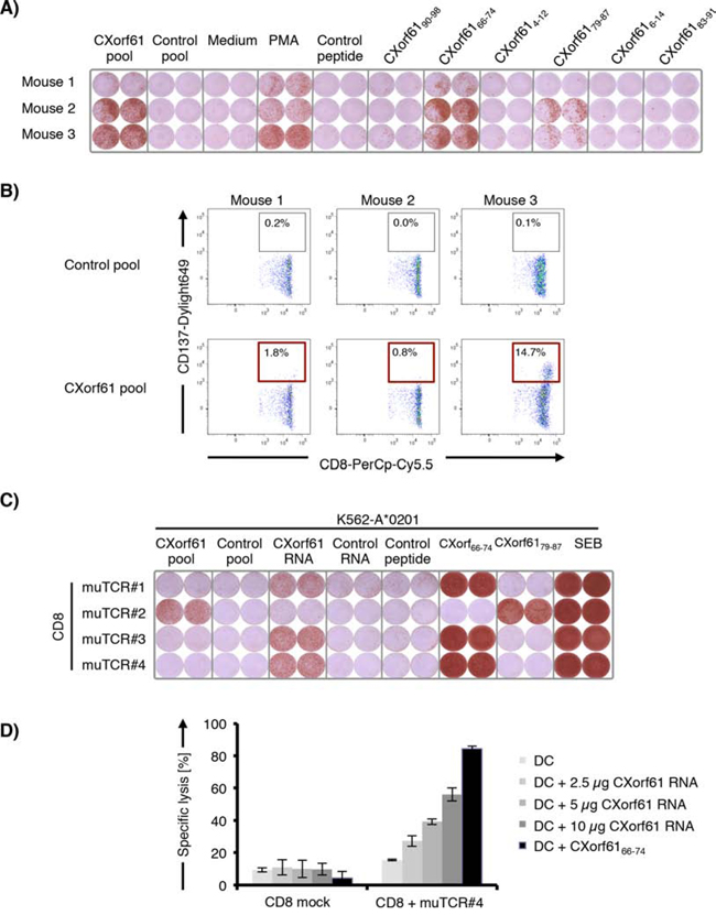 Cloning of murine TCRs from CXorf61-specific T cells induced by immunization of HLA-transgenic mice and identification of HLA-A*02-restricted epitopes.
