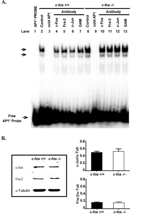 AP-1 content in the developing cerebral cortex.