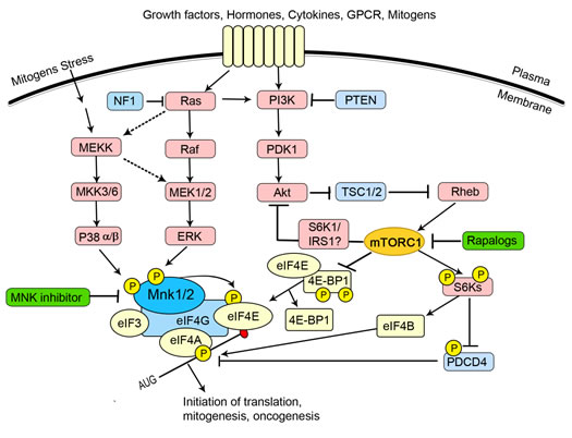 The regulation of eIF4E forms a node of convergence of two intracellular signalling pathways.