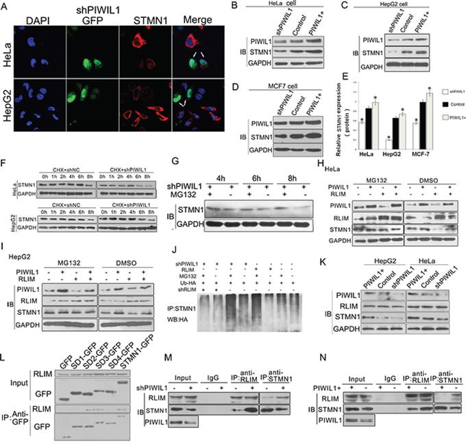 PIWIL1 promotes the expression of STMN1 through blocking RLIM mediated ubiquitin-degradation of STMN1.