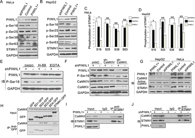 PIWIL1 inhibits STMN1 phosphorylation at Ser16 induced by CaMKII kinase.