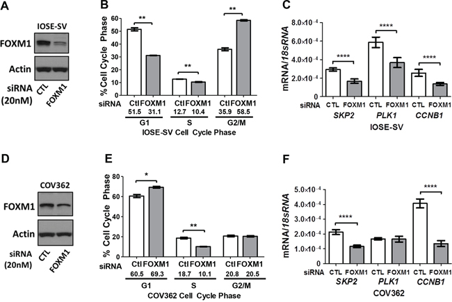 Impact of FOXM1 knockdown on cell cycle progression and target gene expression in IOSE-SV and COV362 cells.