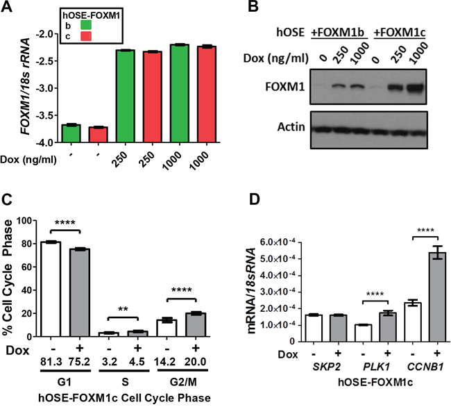 Impact of FOXM1 overexpression on cell cycle progression and target gene expression in hOSE cells.
