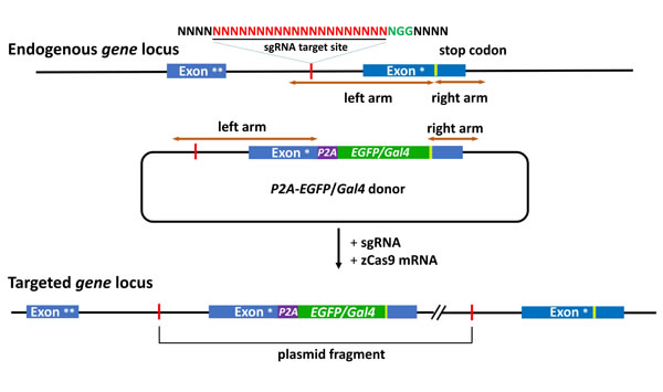 Schematic of the intron targeting-mediated strategy for generating