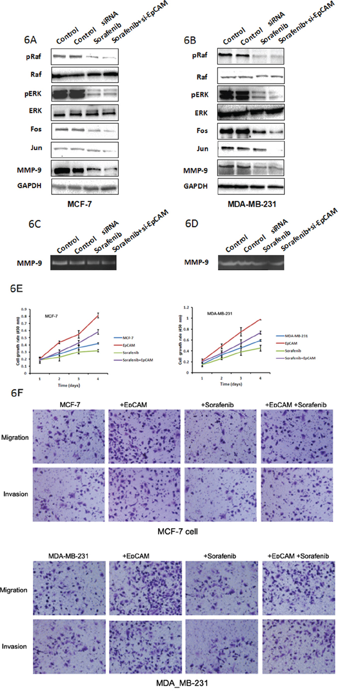 Raf are probably the downstream targets of EpCAM-mediated signaling that regulate MMP-9 expression.