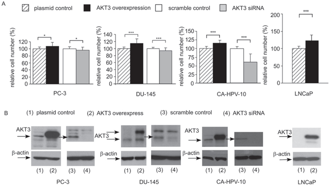 Overexpression and siRNA knockdown of AKT3 affected cell proliferation of PC-3, DU-145, CA-HPV-10, and LNCaP PCa cells.