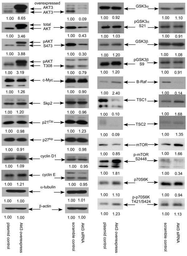 AKT3 overexpression and siRNA knockdown affected expression of signaling proteins in PC-3 cells.