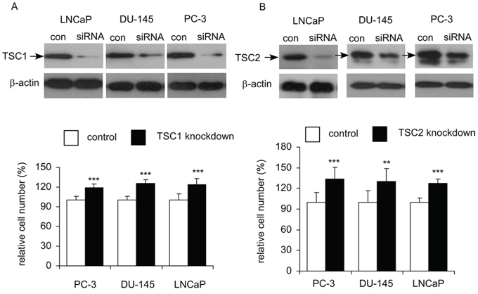 Effects of siRNA knockdown of TSC1 or TSC2 on cellular proliferation of LNCaP, PC-3, and DU-145 cells.