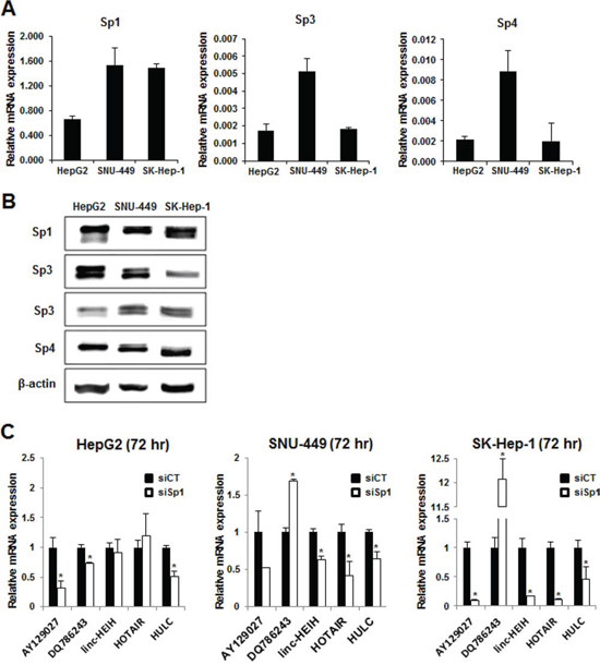 Sp protein expression and regulation of lncRNAs in HCC cells.