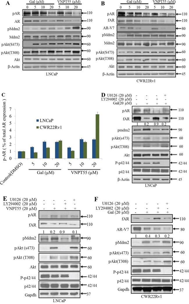 Significance of Akt and Mdm2 phosphorylation in gal/VNPT55 induced fAR/AR-V7 degradation.