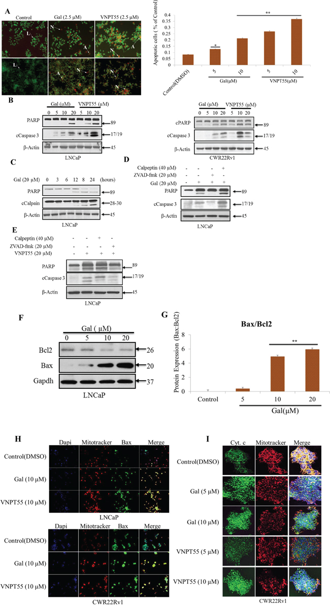 Gal and VNPT55 induce apoptosis in LNCaP and CWR22Rv1 cells.