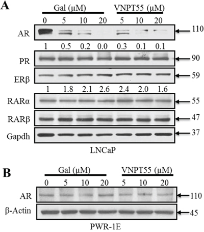 Effects of gal/VNPT55 on AR in epithelial prostate cells and nuclear receptors in LNCaP cells.