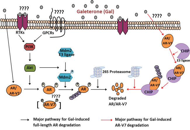 Schematic representation for proposed mechanisms of Gal on full length AR and splice variant AR-V7 degradation.