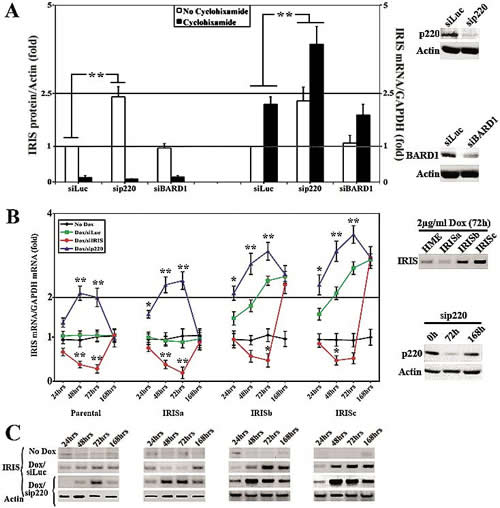 BRCA1/p220 silencing triggers BRCA1-IRIS expression in HME cells.