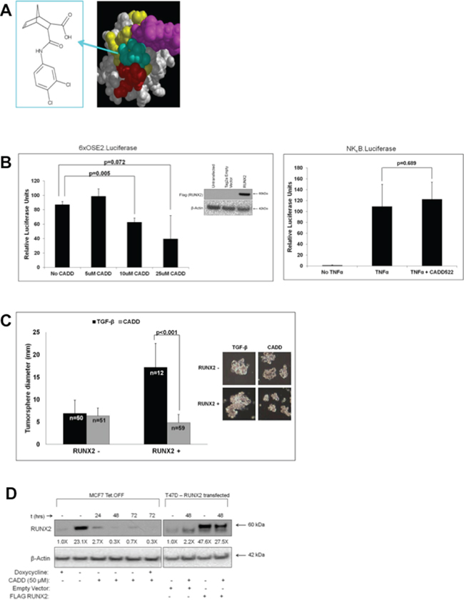 RUNX2-targeting compound CADD522 inhibits RUNX2-positive MCF7 tumorsphere formation in suspension.