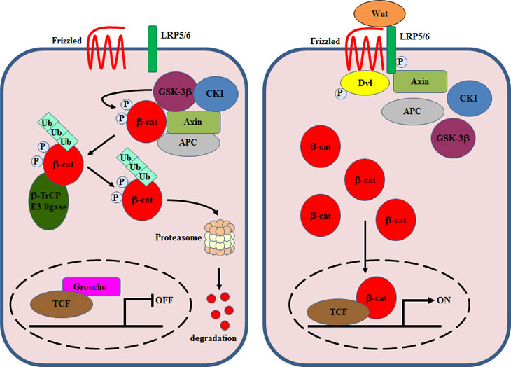 A simplified overview of canonical Wnt signaling.