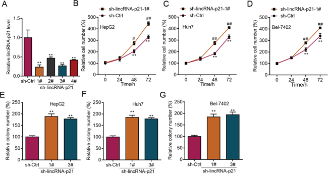 LincRNA-p21 knockdown facilitates proliferation and colony formation of liver cancer cells.