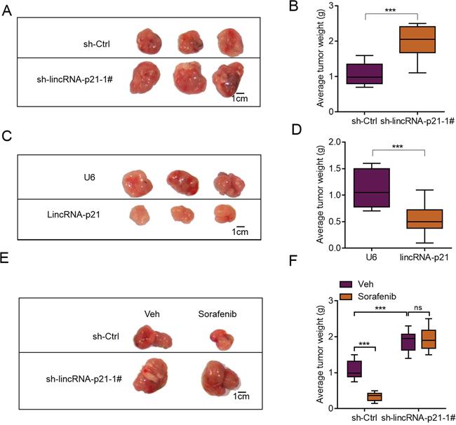 lincRNA-p21 regulates hepatocarcinoma growth in vivo.