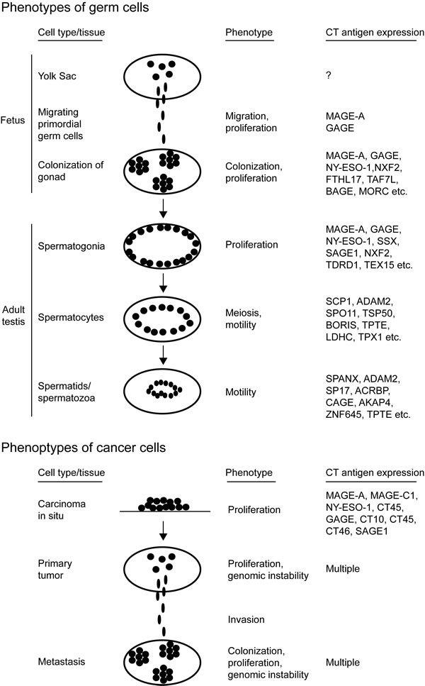 Shared characteristics between germ cells and cancer cells.