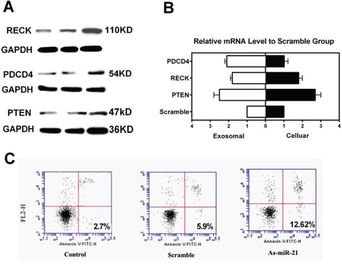 Effects of miR-21 depletion in U251 glioma cells.