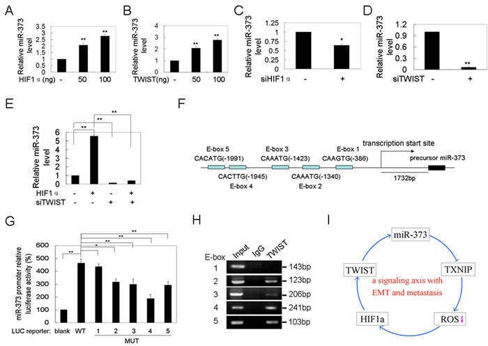 Twist up-regulates miR-373 expression by binding to the promoter of the miR-371-373 gene cluster.