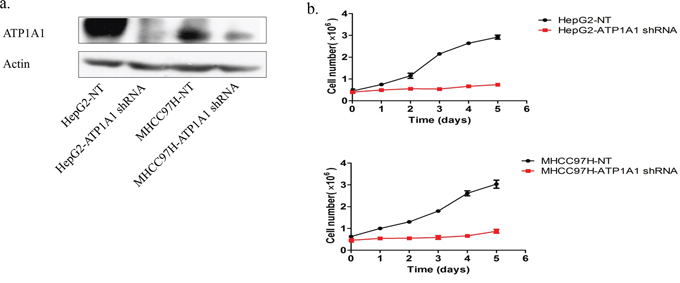 Downregulation of ATP1A1 expression in human HCC cells results in proliferation arrest.