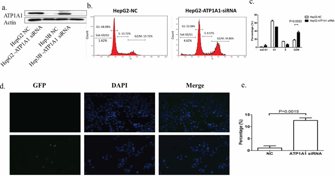 Downregulation of ATP1A1 expression in human HCC cells results in cell-cycle arrest at G2/M phase and apoptosis.