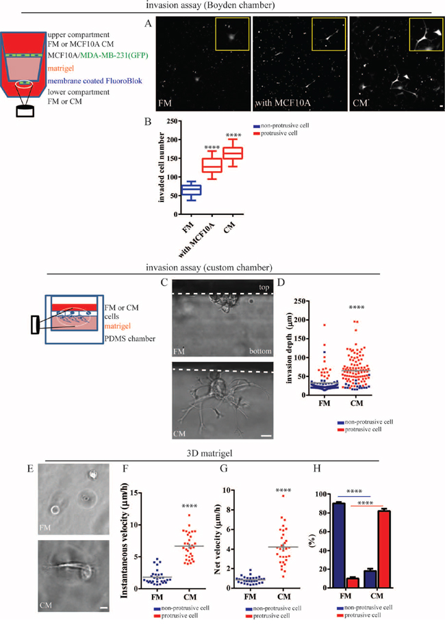 Mammary epithelial cells induce an invasive phenotype in breast carcinoma cells.