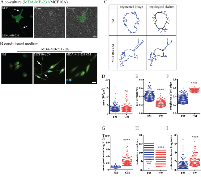 Mammary epithelium cells switch breast carcinoma cells to a highly protrusive phenotype.