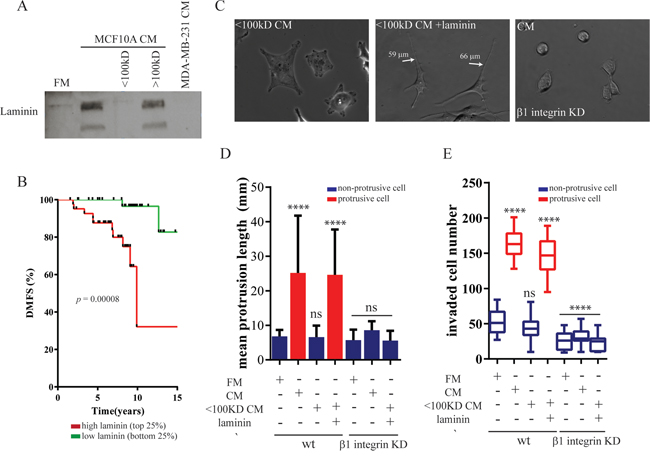 Soluble laminin secreted by mammary epithelial cells induces a protrusive phenotype in breast carcinoma cells.