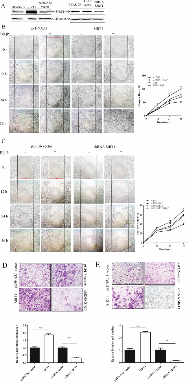 SIRT1 promoted BEAS-2B cells migration and invasion upon B[a]P exposure.