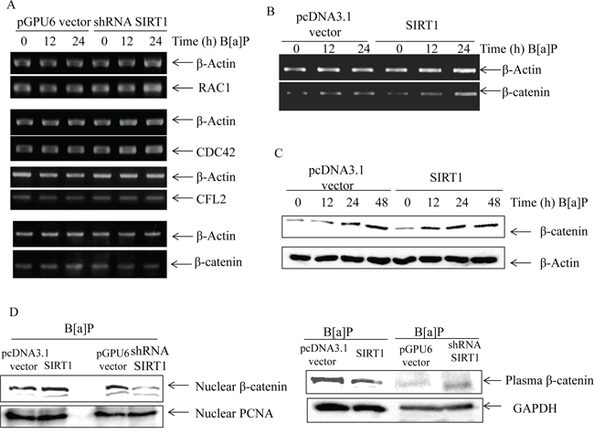 SIRT1 promoted β-catenin accumulation upon B[a]P exposure.