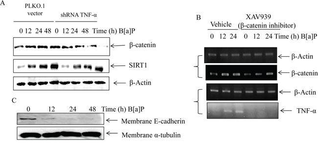 The crosstalk existed between TNF-α and Wnt/β-catenin signaling in B[a]P-treated BEAS-2B cells.